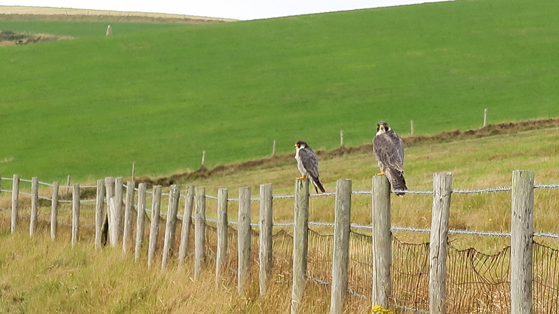 Two Peregrine Falcons? on the cliff top.