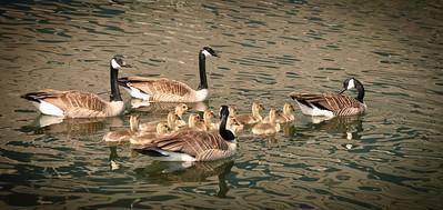 Geese 2 BigCreek MRL_4959