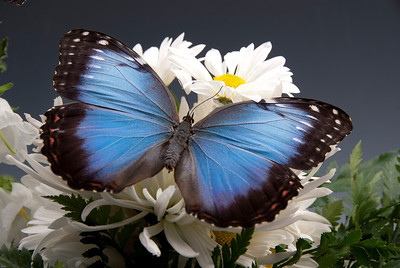 A blue morpho butterfly sure adds to the photo with the flowers