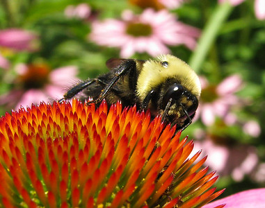 A great closeup of a bee on a purple cone flower in our backyard garden
