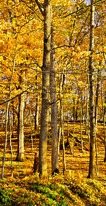 This late afternoon photo was taken after two days of wind in the fall which created the golden floor in the forest and leaving some of the golden leaves on the tress.