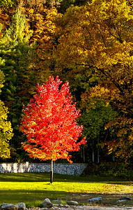 This image was taken in the late afternoon and highlighted the small red maple among the larger green trees.