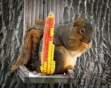 This squirrel is enjoying the great Iowa corn