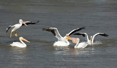 This photo on the Des Moines River just below the Red Rock Reservoir is a great place for the pelican to go fishing. It appears as one caught a fish the other want to come an share in the lunch