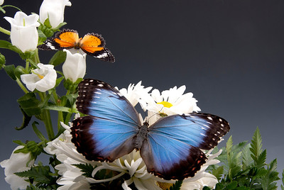 This photo of the flowers is enhanced with the Blue Morpho and Leopard Lacewing butterflies.