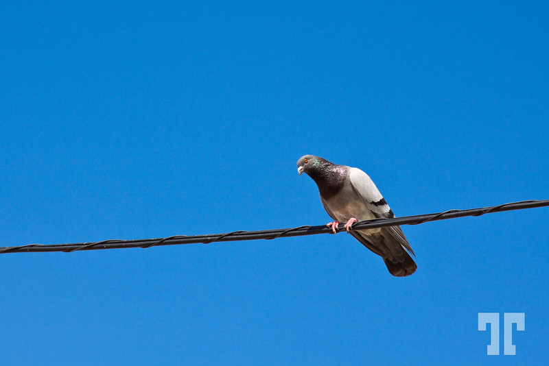 pigeon-silves-portugal
