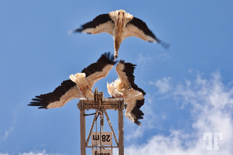 cranes-fighting-silves-portugal