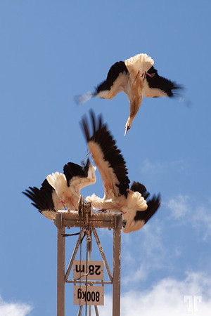 cranes-fight-silves-portugal
