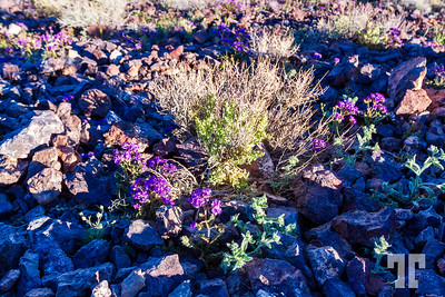Death-valles-small-purple-flowers-spring