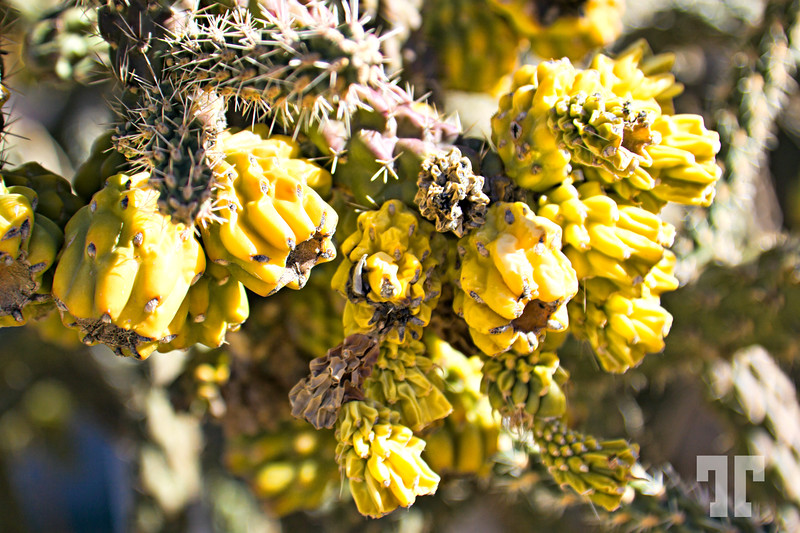 Cactus buds in Mohave county, Arizona