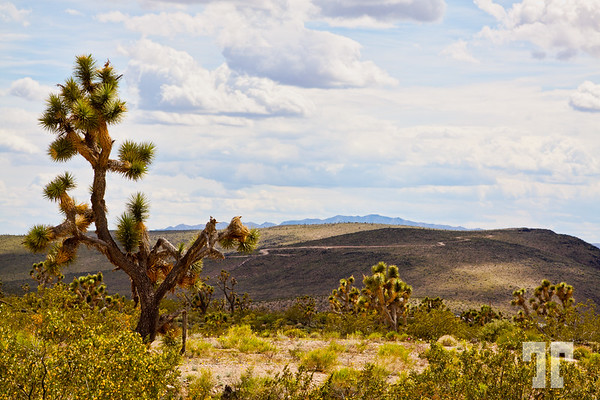 joshua-trees-arizona-2