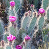 happy-pink-cactus-flowers