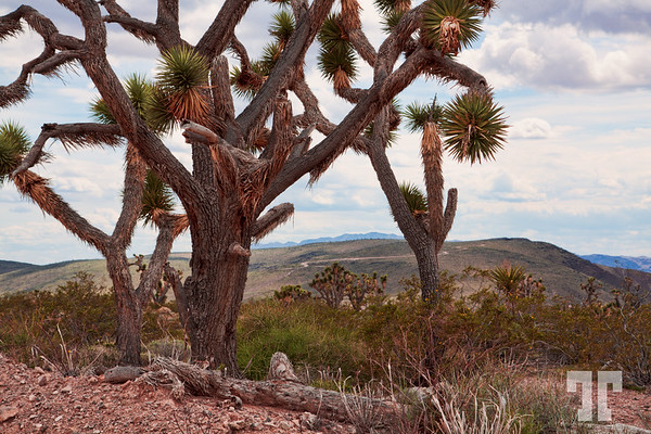 joshua-trees-arizona