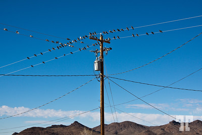 Mohave pigeons