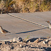 Quails-arizona