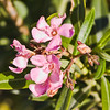 Blooming Oleander in Mojave Desert in February (near Las Vegas)