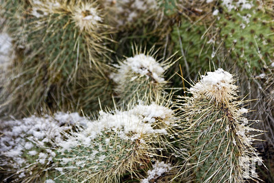 snow-on-cacti-mohave-december-5