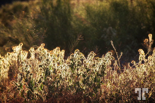 Weeds in the sunset light