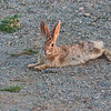 cottontail-rabbit-arizona