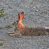cottontail-rabbit-arizona-2