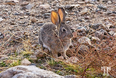 Cottontail rabbit in the front yard, waiting for some carrots :)