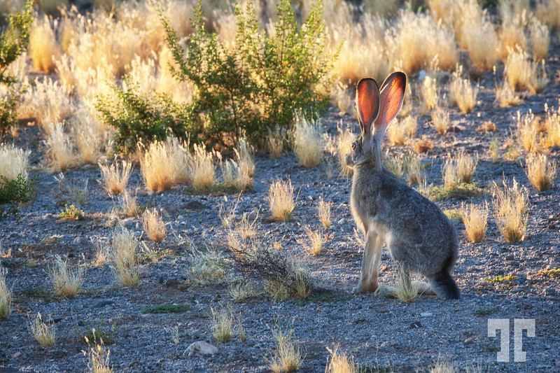 Jackrabbit in the sunset light, Arizona