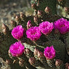 Beaver Tail Cactus Flowers