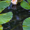 water-lily-maevens-haven-lucile-idaho-4