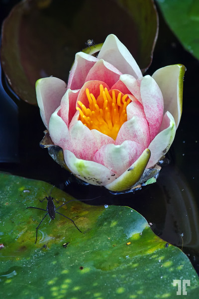 water-lily-mavens-haven-lucile-idaho-8