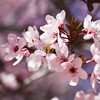 cherry-blossoms-february-kingman-arizona