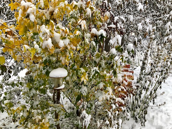 Snow covered vegetation in the Bigfork, Montana area in the month of October