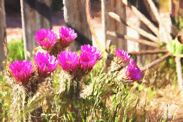 pink-cactus-flowers-bonnie-springs-nevada-APainting