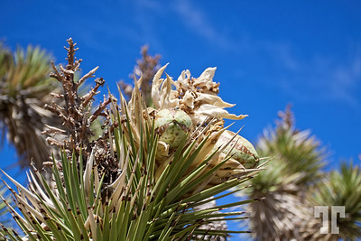 Joshua tree with flowers and fruit in the desert of Nevada, around Las Vegas