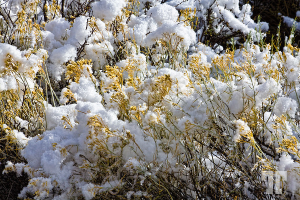 Sagebrush with snow in the Utah mountains