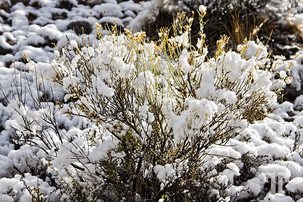 Sagebrush covered by snow in Utah mountains