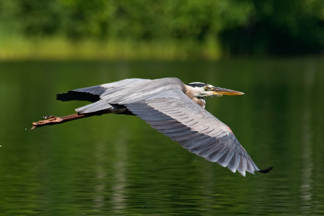 We were canoeing on our lake when this Great Blue Heron flew by.  I had my camera along and snapped this photo.