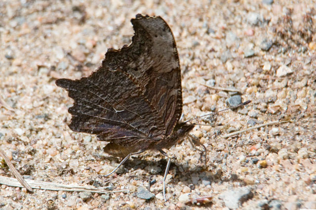 "Many butterflies look very different depending on whether you are looking at the top or the bottom of their wings. The Gray Comma is a good example of this.  Here you see the underside of the wings and it is dramatically different than the top side (photo above).  This view makes the butterfly look like a dried up leaf and provides it with great camouflage.  Toward the middle of the wing you see a small, white line.  This is the ""comma"" from which the butterfly gets its name."