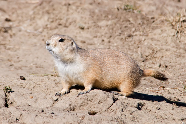 In this photo you can see the black tip on the tail which gives them their official name of Black-tailed Prairie Dog.  There are three other species of Prairie Dog in the United States but the Black-tailed has the most extensive range.  In the Badlands, park rangers have reintroduced Black-footed Ferrets, a predator which specializes in Prairie Dogs.  Ferrets are only out at night so most visitors never see them.  However, park information signs report that the Ferrets are doing well and multiplying.  Other Prairie Dog predators include hawks, eagles, coyotes, badgers, and rattlesnakes.