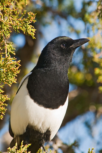 This photo of a Black-billed Magpie, also taken in the Badlands, gives you a good, close look but doesn't show the long tail which is at least as long as its body.  Magpies are noisy and gregarious, often traveling in a flock of 6–50 birds.  They like open country with some trees around.  Using sticks and mud, they build huge nests up to four feet high.  The nests usually have a side entrance.