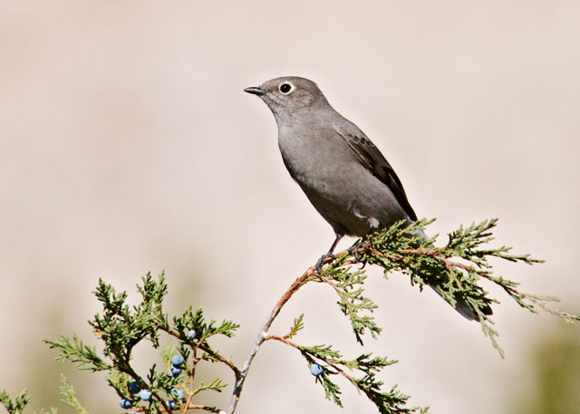 This is a Townsend's Solitaire.  It's a rather plain looking bird but has a beautiful, melodious song.  True to its name, it is usually found alone.  They often perch at the top of a tall tree and sing to defend their territory.  Townsend's Solitaires are mostly found in the western United States and far western Canada.  They nest in the high mountainous areas and drop down to lower elevations in the winter.  Some of them grow adventurous in the winter and even come to Minnesota.  This photo was taken in the Badlands.