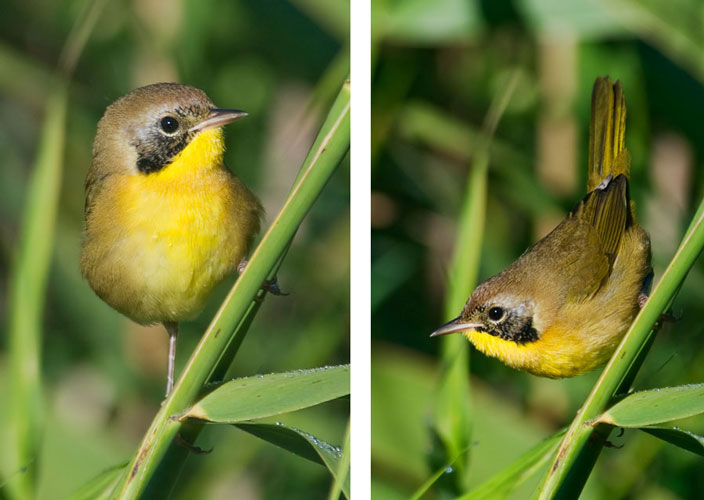 This cute little Common Yellowthroat was hopping around in the reeds at White Oak Lake near Deer River, MN.  It was busy picking tiny bugs off the leaves.  Male Yellowthroats have a completely black mask over their eyes.  The mask is not complete on this bird and I can't tell if it's an adult male in the process of molting, or a juvenile male that just hasn't acquired full adult plumage yet.