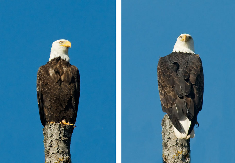 These photos were taken at the Grand Marias harbor.  Both photos show the same eagle sitting on the same tree.  However, in the photo on the left, the bird is facing the camera.  In the photo on the right its body is facing away from the camera and its head is turned 180 degrees and is looking directly over its back.  I have seen owls do that but I hadn't seen it done by an Eagle.
