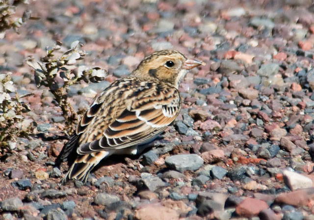 I crouched down near my car and just waited while the Larks and Longspurs slowly made their way toward me.  I concentrated on not making any quick motions while they concentrated on eating.  They walked almost up to me; some came within about 5 feet, too close for my camera to focus.  This is a photo of a Lapland Longspur.  Both the Longspurs and Larks nest in the far northern parts of Canada and spend the winter throughout most of the United States.  They are often found together in migrating flocks.