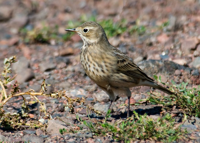 "The American Pipit is another bird that is migrating south at this time of the year.  They are usually found in flocks, foraging on grass seeds much like the Larks and Longspurs.  Their pale tan plumage makes them hard to see in the grass.  You often hear their high-pitched, ""tinkling bell"" call before you see them.  They have a habit of pumping their tails as they walk along the ground.  I took this photo near Finland, Minnesota."