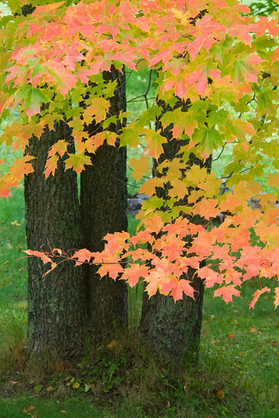 Some of these fall colors are so bright when the sun is shining on them that they seem to glow.  In this photo you can see leaves from the same tree that range from still green to brilliant red.  You can even find individual leaves that are half green and half red.