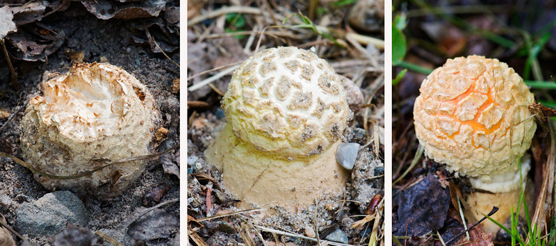 This series of three Amanita mushrooms shows how they look as they emerge from the ground.  The one on the left is just breaking through the surface.  The one in the middle shows the white layer called the veil.  It covers the entire mushroom as it begins to grow.  Notice the warty patches on the surface.  The photo on the right shows one that is further along and the veil is starting to split apart.  You can begin to see the orange color of the mushroom cap.