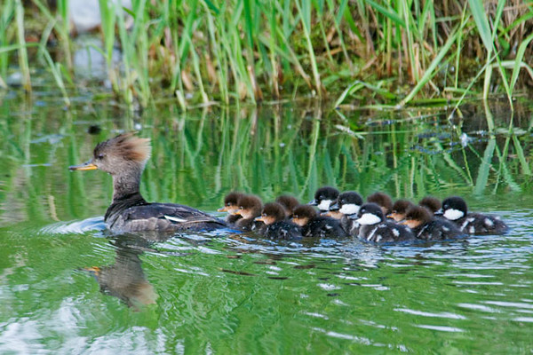 Here is a photo that I forgot to share with you earlier this spring.  It shows a female Hooded Merganser and her flock of ducklings.  Most of them are pretty obviously Hooded Mergansers; they look a lot like their mother.  However, the four ducklings that have black heads and white cheeks are Common Goldeneyes.  A female Common Goldeneye must have laid four of her eggs in the nest of this Hooded Merganser.  When they hatched, the babies imprinted on the Merganser.  So, as far as they know, she is their mother.  This happens with some regularity in the world of ducks.