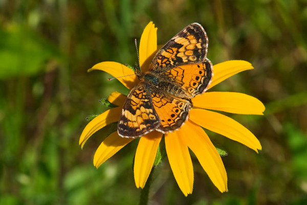 Northern Crescents are one of the common butterflies in our yard.  It's a smaller butterfly with a wingspan of only 1 to 1.5 inches.  This one is on a Black-eyed Susan.