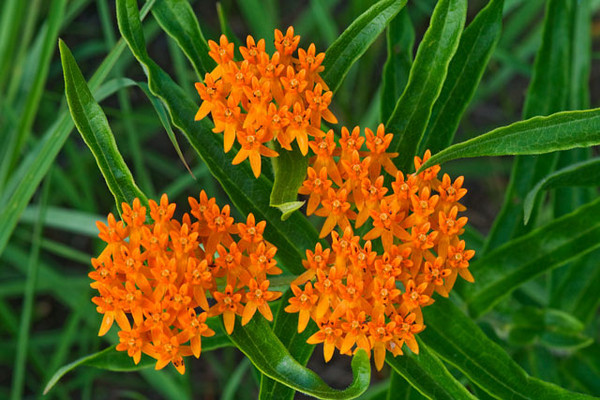 Butterfly Weed is a bright orange, very showy wildflower.  It is actually in the milkweed family but doesn't have milky sap like some of the other milkweed plants.  It's usually found in prairie areas, often in sandy soil.  I found these in Long Lake Regional Park in New Brighton, Minnesota.  True to its name, it attracts Gray Hairstreak and Monarch butterflies.