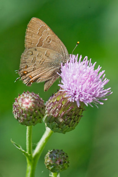 This is a photo of a Striped Hairstreak butterfly.  They are found over the entire eastern and central United States and eastern Canada.  However, the books I referenced all said this is not an easy butterfly to find.  I found this one when I was birding on an unpaved back road in Itasca County, Minnesota.